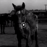 Lecznica dla koni z UNRRY przy al. Hallera na filmie!