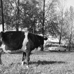 """""""Latem aleją Roosevelta pędzono krowy…"""" – wspomnienie"""